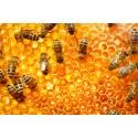Prodej medu Alena Cahová- Klobouky u Brna- okres Břeclav
