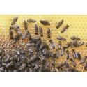 Prodej medu Včelí farma Bucharovi- Rudník- okres Trutnov